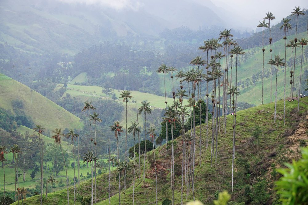 World's tallest palm trees while hiking Cocora Valley, Salento, Colombia