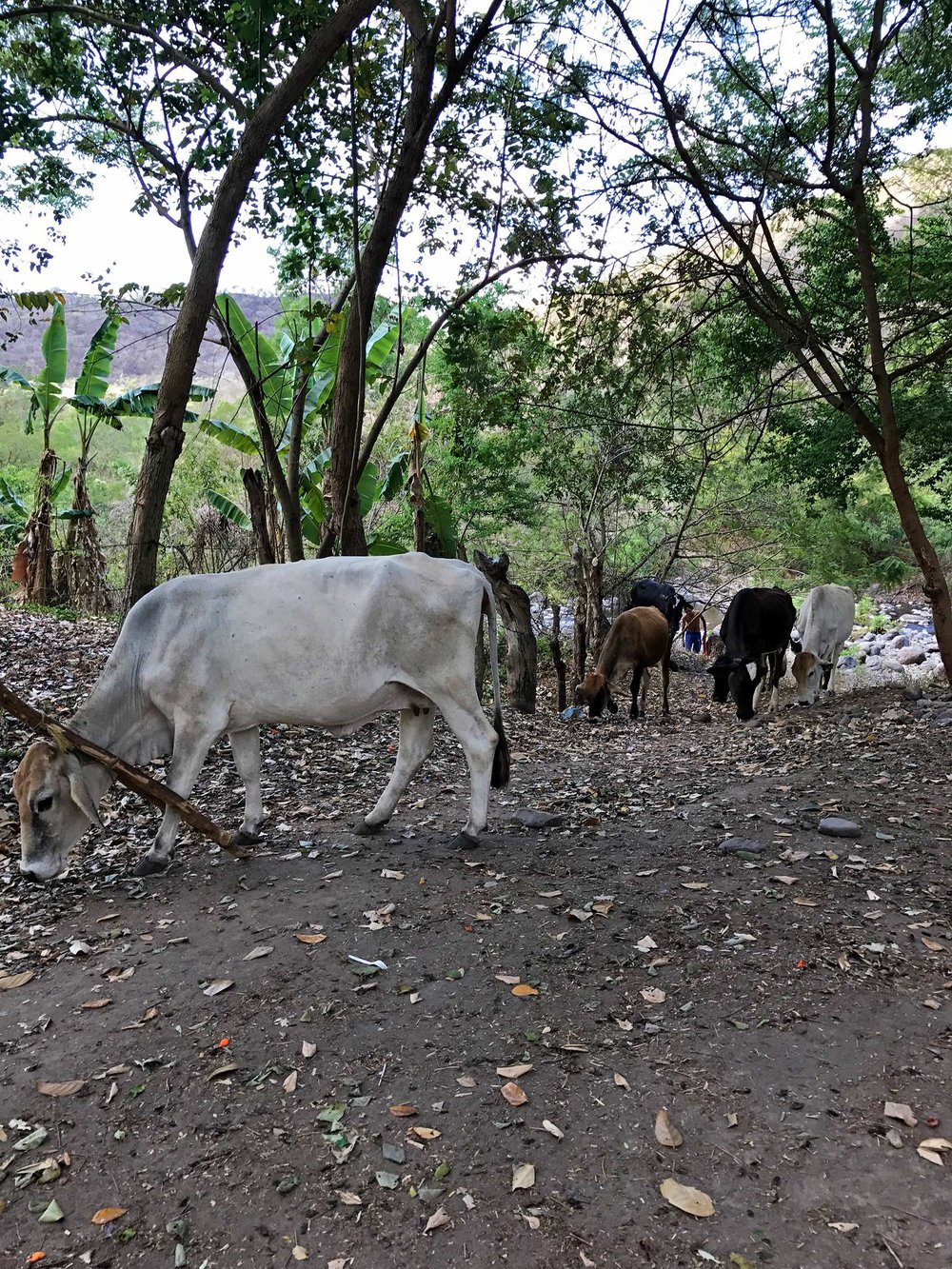 cattle while exploring Somoto Canyon Nicaragua