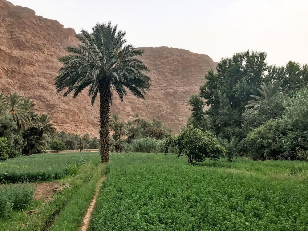 Todra Gorge Morocco lush field and palm trees | hiking Todra Gorge Morocco